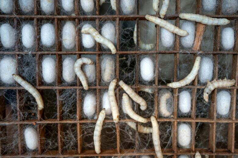white silk cocoons and larvae of bombyx mori worms