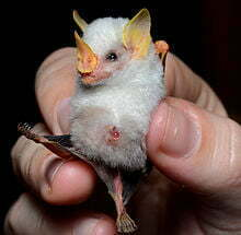 220px-Ectophylla_alba_in_hand